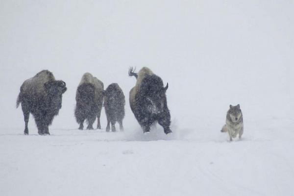 A bison chases a wolf through Hayden Valley